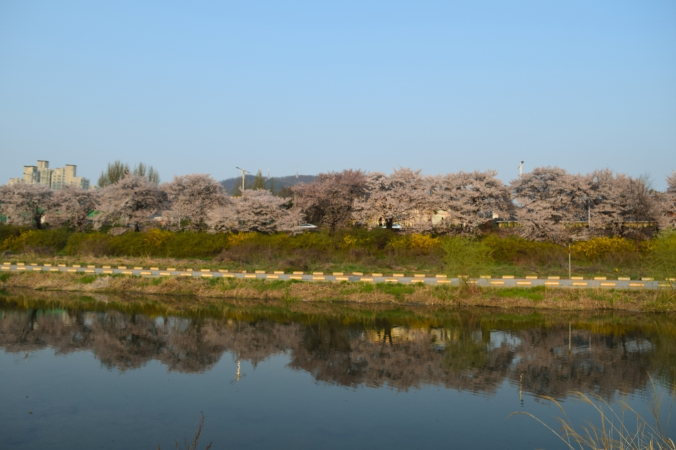 Cherry Blossoms, Cheongju, South Korea, April 2015