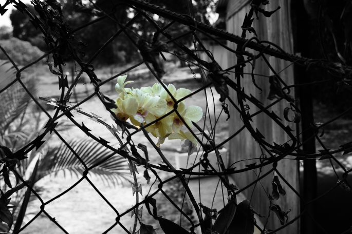 Beauty among chaos. A solitary flower growing on a barbed wire fence.